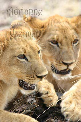 Brother Cubs