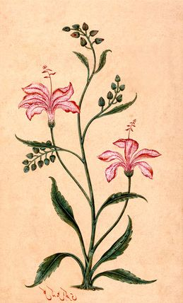Flowering plant. India, Mughal period, mid-18th century