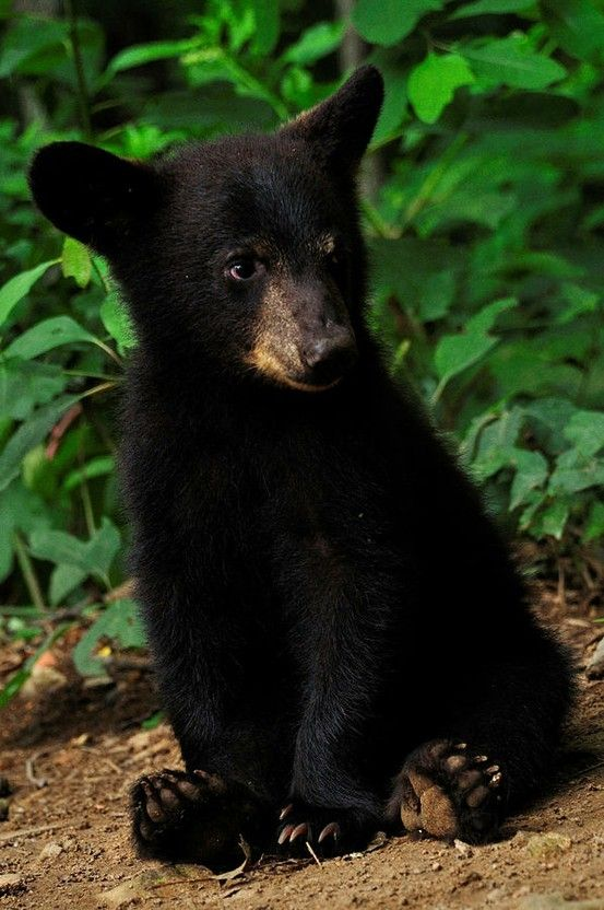 black bear cub by phoebe