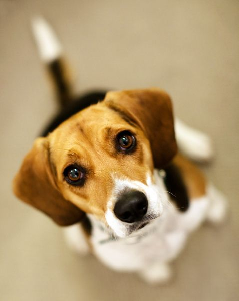 """Click visit site and Check out Cool """"Beagle"""" T-shirts. This website is superb. Tip: You can search your name or your favorite shirts at search bar on the top."""