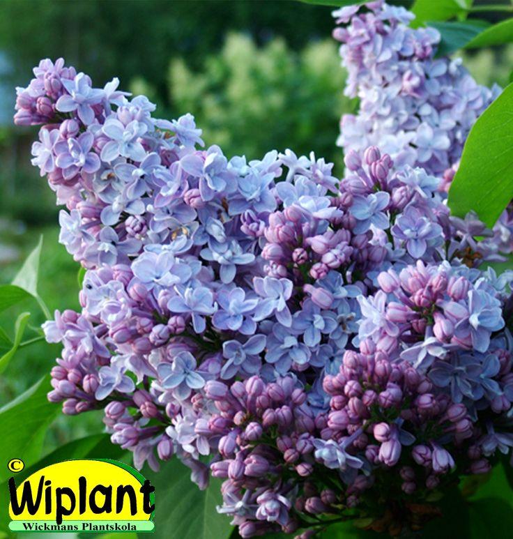 Syringa vulg. 'Norrfjärden', ädelsyren. Blommar rikligt med dubbla blommor. Höjd: 2-5 m.