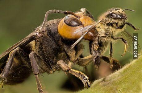 Japanese giant hornet bullying a European honey bee