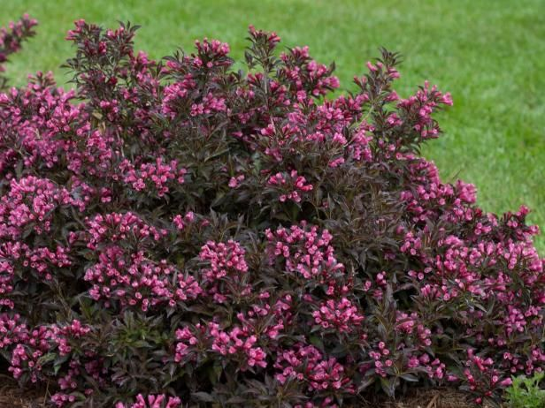 22 best black burgundy purple plants images on pinterest for Easy to maintain bushes