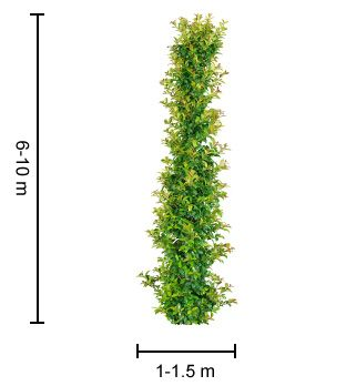 PINNACLE™ Syzygium is a very narrow growing native tree which is great for screening | Advanced Trees Range