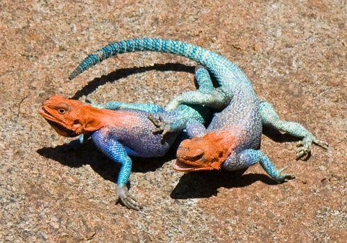 http://evoluahomosapiens.blogspot.co.uk/2013/09/agama-de-cabeca-vermelha-agama-agama.html