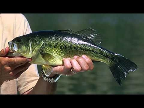 Some Characteristics of Large Mouth Bass