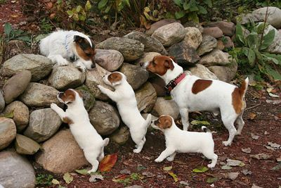 Jack Russell Terrier Family ~ Daddy! Daddy! Daddy! What did you find?