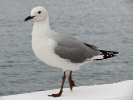 Photo of Hartlaub Gull taken at Mossel Bay