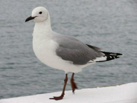 Photo of Hartlaub Gull taken at Mossel Bay