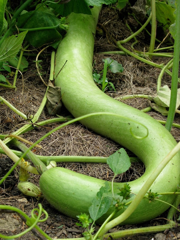 1000 Images About Snake Gourds On Pinterest Popular