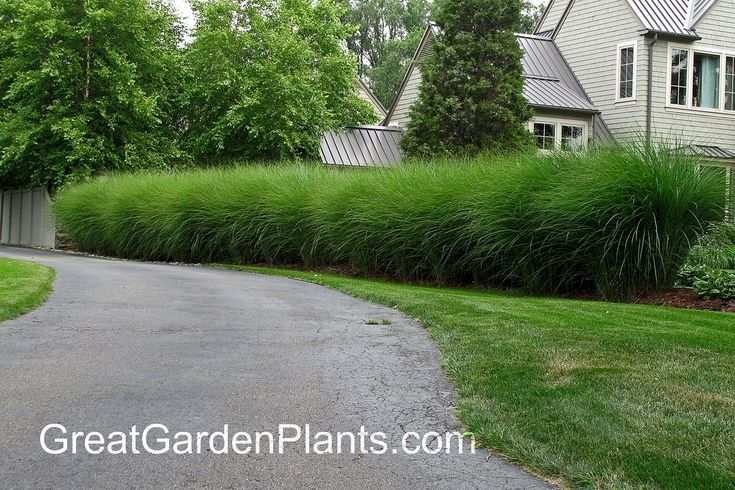 Miscanthus As A Hedge Grasses Pinterest Hedges