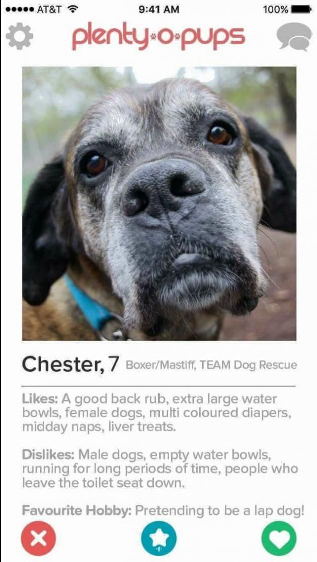 Chester - TEAM DOG RESCUE in Toronto, ON - ADOPT OR FOSTER - 7 year old Neutered Male Boxer/Mastiff Mix