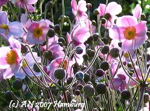 I adore these! Anemone huphensis - Japanese anemone (photo AN)
