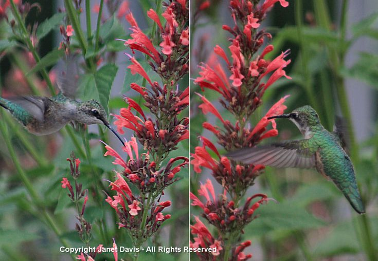 87 best images about hummingbirds gardening for on for Agastache cuisine