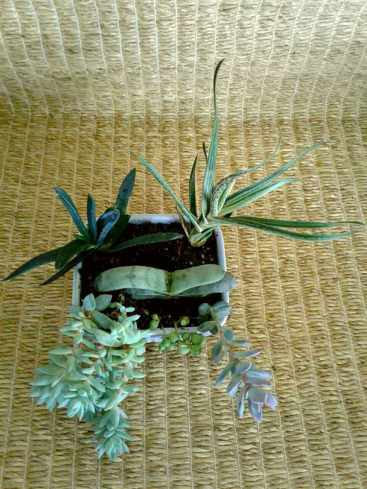 Succulents in a small lavender ceramic dish for sale from a one-person online plant nursery in Phoenix, AZ. Local meetup by appointment, or delivery may be possible for sizable orders.