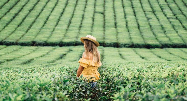 Nucifora Tea Fields, Atherton Tablelands