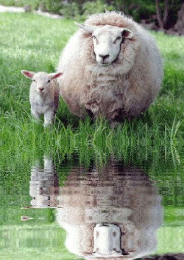 reflection of a ewe & her lamb animated gif