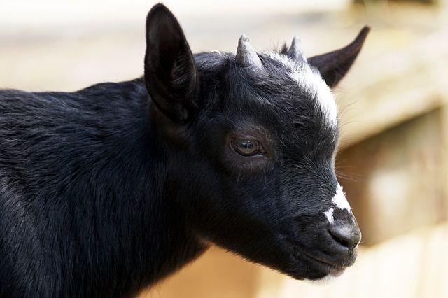 Free photo: Kid, Young Goat, Goat, Fur, Animal - Free Image on Pixabay - 2666807