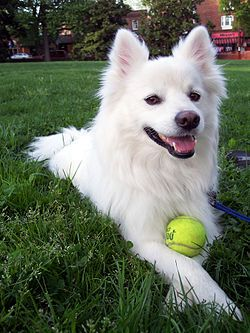 """The American Eskimo Dog is a breed of companion dog originating in Germany. The American Eskimo is a member of the Spitz family. Despite its name and appearance, the American Eskimo dog is not from Alaska; the dog's heritage is traced back to Northern Europe. The breed's progenitors were German Spitz, but due to anti-German prejudice during the First World War, it was renamed """"American Eskimo Dog""""."""