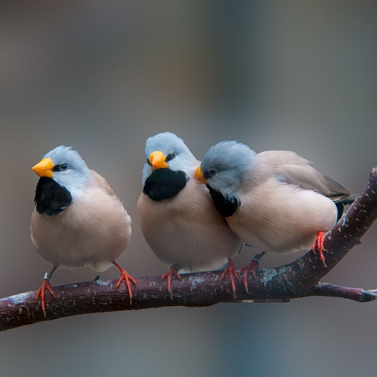 Long-tail Finch - Of all of the Australian finches certainly one of the most stylish is the Long-tailed grass finch