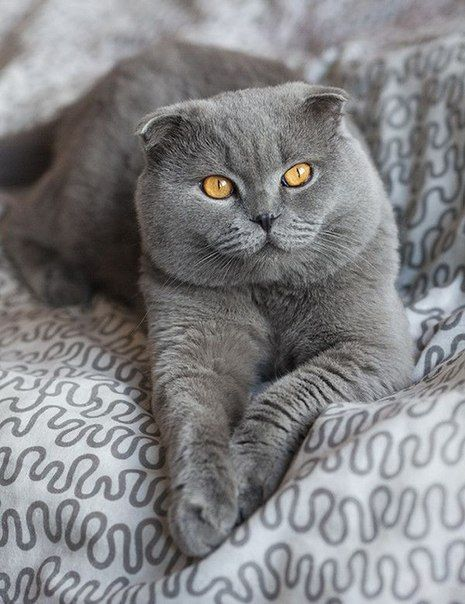 1000 images about scottish folds on pinterest cute cats cat breeds and scottish fold kittens. Black Bedroom Furniture Sets. Home Design Ideas