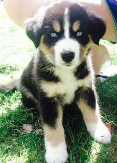 Husky/Bernese Mountain mix <3 <3 <3