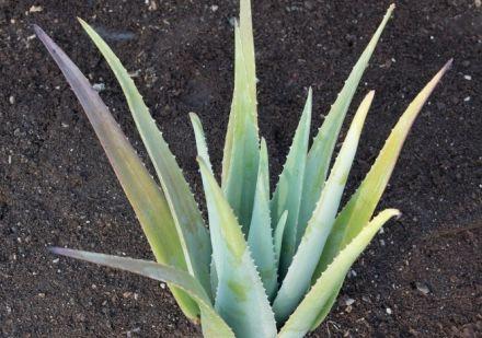Aloe Vera Pflanze auf der Santaverde Finca in Andalusien