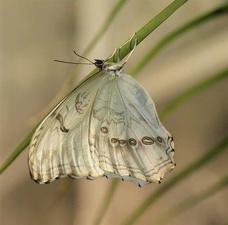 """Borboleta branca tropical vive no México e nas Índias Ocidentais. Possui uma série de """"olhos"""" na parte inferior das asas.  Fotografia: Divulgação."""