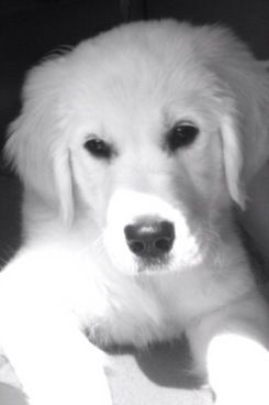 English Cream Golden Retriever, i have two of these puppies, sweetest most beautiful babies EVER