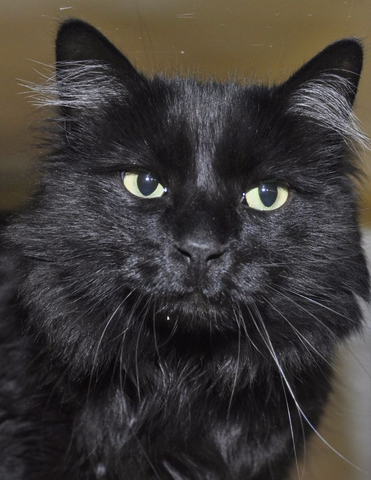 Hi there, I'm Bongo - a five year old long haired boy in search of my forever family. I'm active, friendly, and love playing and cuddling. I've also lived with dogs before and done well! Can't wait to meet you - come say hi today! http://www.homewardpet.org/available-cats-kittens/