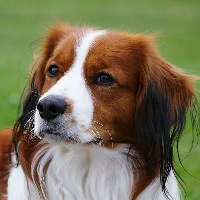 The 'Vereniging Het Nederlandse Kooikerhondje' was founded on February 11, 1967. Place of residence is Delft because of the breed's historic relationship ...