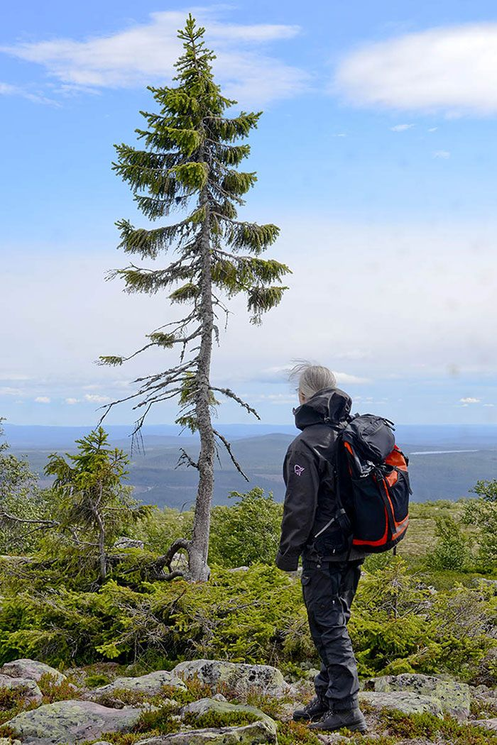 "The world's oldest tree, a 9,500-year-old Norwegian Spruce named ""Old Tjikko,"" after Professor Leif Kullman's Siberian husky, continues to grow in Sweden. Discovered in 2004 by Kullman, professor of Physical Geography at Umeå University, the age of the tree was determined using carbon-14 dating."