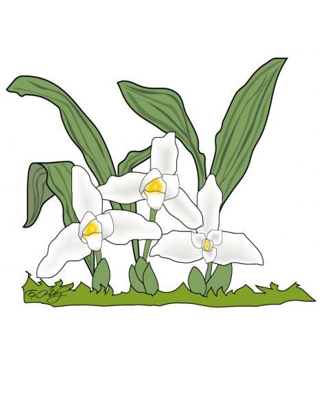 Guatemalan Monja Blanca para colorear #Guatemala national flower ...