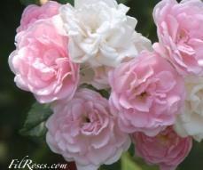 16 best images about rosiers multiflora et hybrides de multiflora on pinterest. Black Bedroom Furniture Sets. Home Design Ideas