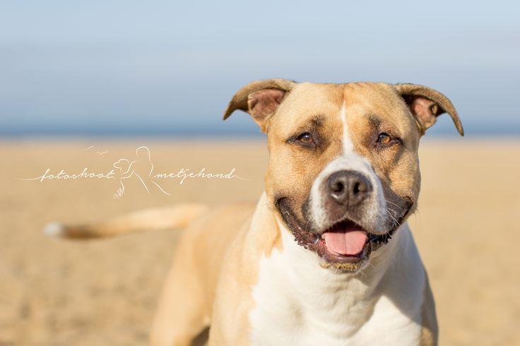 Op het strand! #amerikaanse staffordshire terrier # strand #fotoshoot