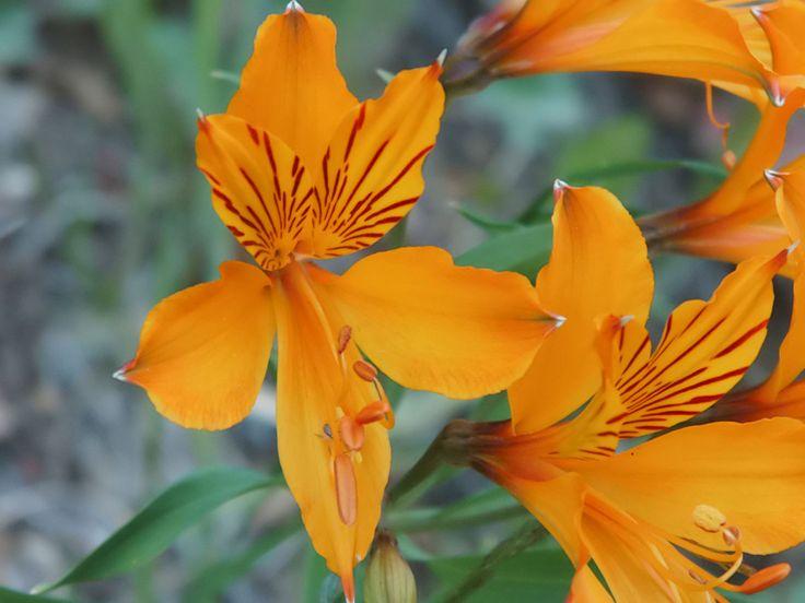 """Flor silvestre, sur de Chile """"Wildflower southern Chile"""" - quizas tatuarme así"""