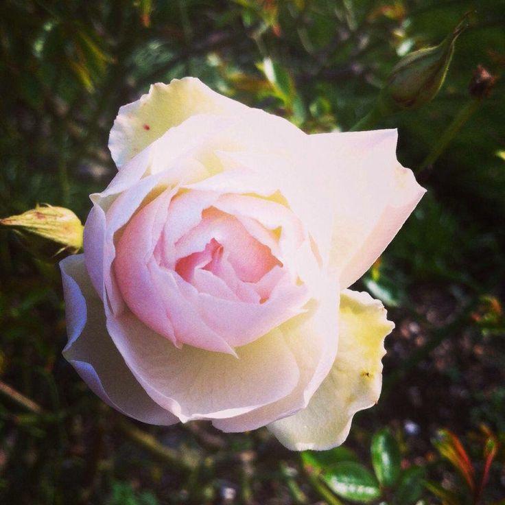 #Rose in the garden