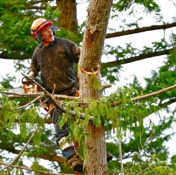 tree and shrub pruning service near me on Charles Tree Services Offer Our Expertise In Treeshaping As It S An Artistic Way To Show Off Your Beautiful Trees Sh Tree Service Tree Removal Tree Trimming