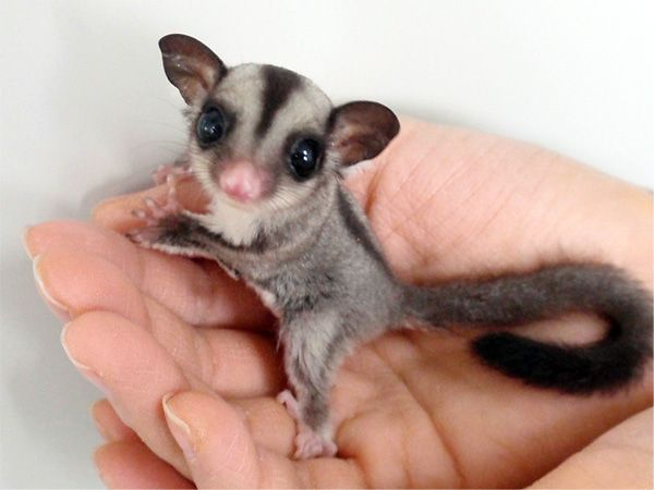 sugar glider baby.  i want one so bad