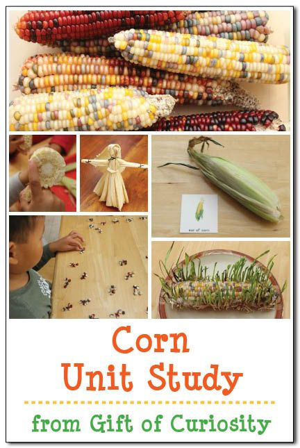 Corn unit study. Activities, printables, and other ideas for learning about corn. Lots of great ideas for kids!    Gift of Curiosity