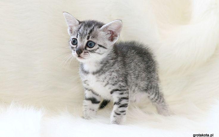 mały kotek egipski