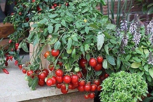 Помидоры Черри на подоконнике  В комнатных условиях можно выращивать довольно много сортов и гибридов томатов. Но более пригодны для выращивания в домашних условиях раннеспелые томаты с невысоким компактным кустом, дружным созреванием плодов и самые неприхотливые из томатов к условиям освещенности. По этим критериям, — лучшим выбором будут томаты группы черри. Они очень декоративны, прекрасно украсят интерьер любой комнаты, имеют вкусные сладкие плоды томатов различной формы и окраски…