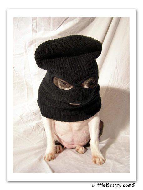 Boston Terrorist: Cat, Bankrobberi Pugs, Banks Robberi Pugs, Bones, Boston Terrorist, Ninjas, Funny Boston Terriers, Dogs Treats, Animal
