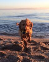 Banksia Park Puppy Review Chino, spoodle, cute, beach, love, puppy