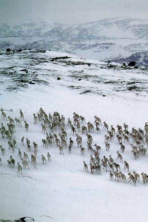 Herd of caribou in Labrador, Canada National Geographic | October 1993