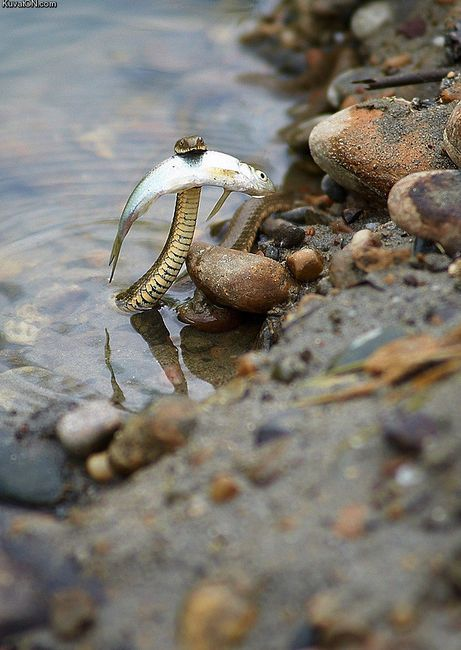 Cool. : Animals, Nature, Fish, Brave Snake, Funny, Reptile, Snakes, Photo