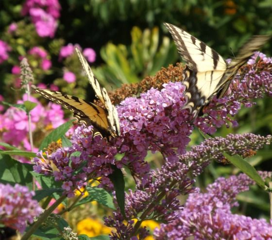 When to prune a butterfly bush