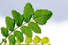 Weihrauch (Boswellia) ist ein bewährtes Heilkraut gegen Entzündungen, etwa bei Rheuma. Doch seine Inhaltsstoffe könnten auch gegen Multiple Sklerose hilfreich sein.