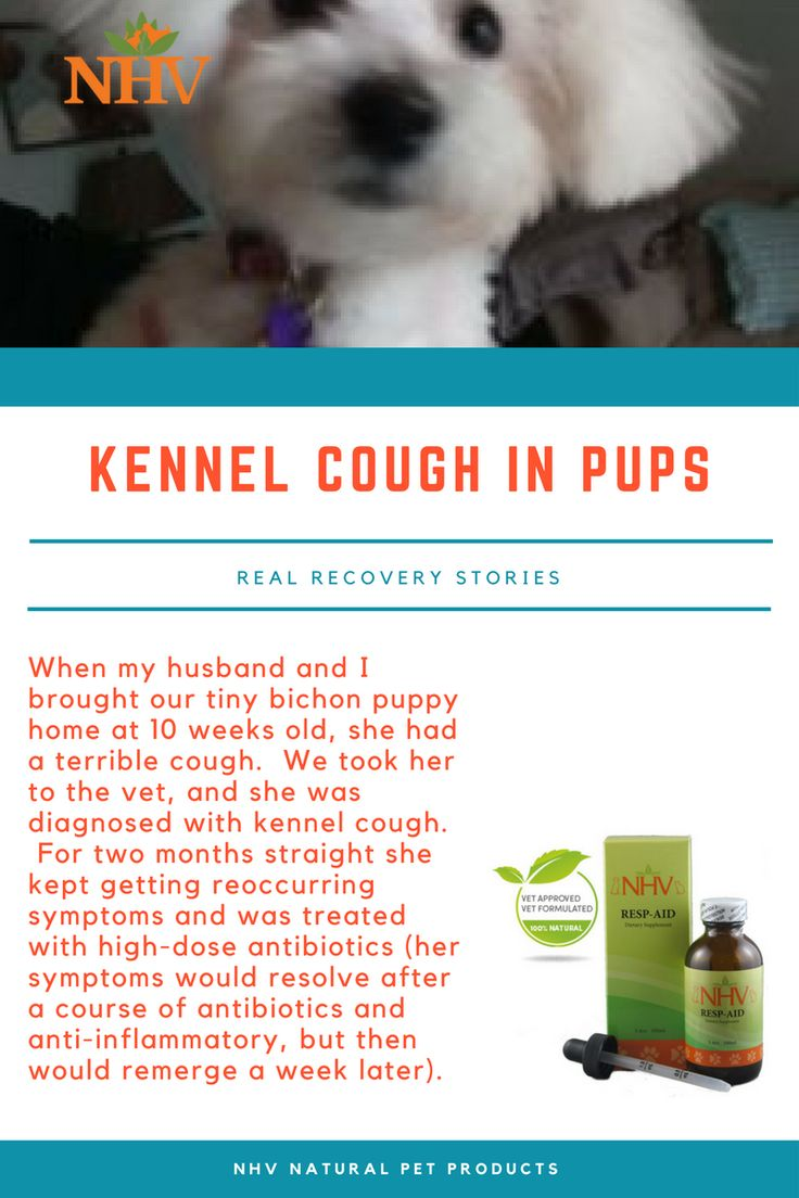 Bichon puppy kennel cough puppy kennel dog coughing