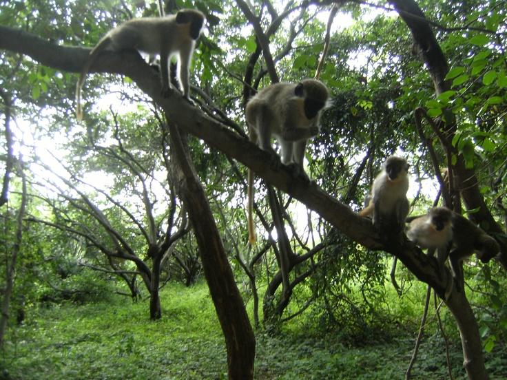 micus a Bijilo Park. Gàmbia